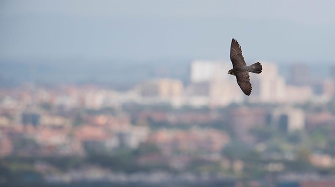 A Peregrine Falcon in the sky