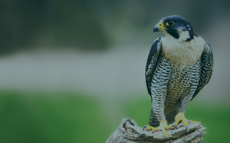 Acea's work to protect falcons